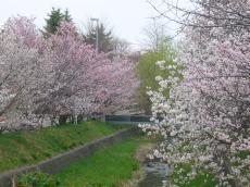 近くの川辺に咲いている満開の千島桜