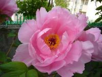 牡丹名 村松桜