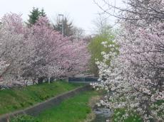 満開の千島桜